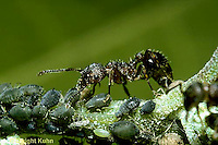 "1A16-006z  Ant - ""milking"" aphids, mutualism"