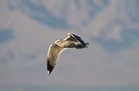 540060003 Mew Gull Larus canus WILD _DLW2548 .In Flight.Salton Sea National Wildlife Refuge, California