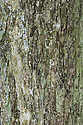 Bark of mature Field Maple {Acer campestre}. Cambridgeshire, UK.
