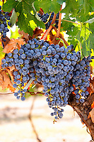 Bunches of ripe grapes. Cabernet Sauvignon. Castel del Remei, Costers del Segre, Catalonia, Spain.