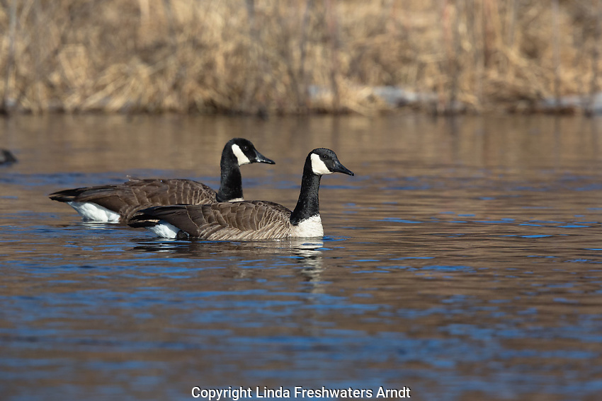 Pair of Canada geese swimming in the Chippewa River (northern Wisconsin).