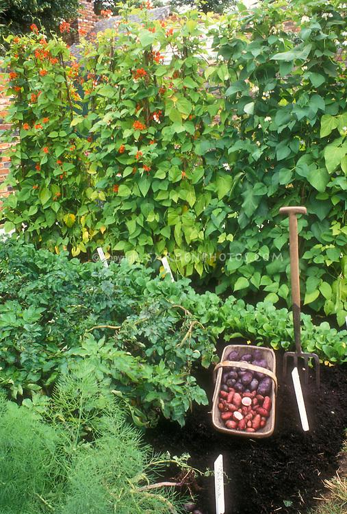 Vegetables in Garden including blue potatoes, red potatoes, new potatoes, scarlet runner beans, garden tool, labels, radishes, good black dirt soil