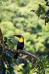A wild chestnut mandibled toucan sitting in a tree in Casa Orquideas Botanical Gardens, Golfo Dulce, Costa Rica