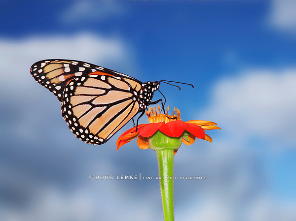 A Monarch Butterfly On A Red Flower Against A Blue Sky Background, Danaus plexippus