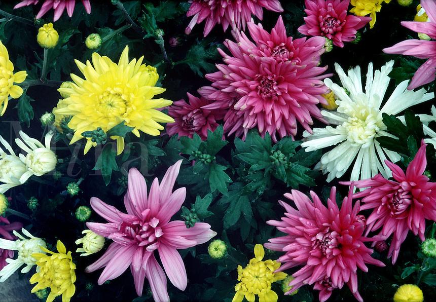 Detail of chrysanthemums #5529.