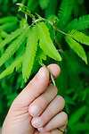 Sensitive Plant (Mimosa pudica) closes its leaf when touched.