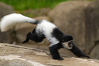 Black and White Colobus Monkey.Oregon Zoo, Portland, Oregon