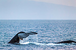 Humpback Whales showing tails and back fins, Maui, Hawaii.