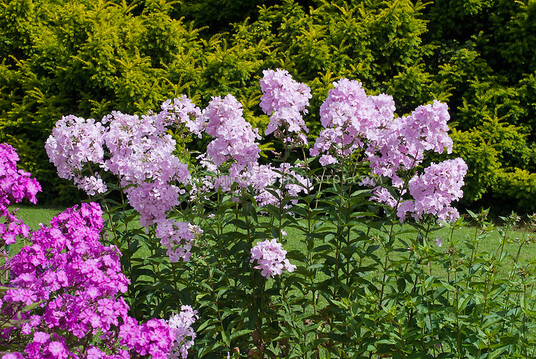 Phlox x arendsii 'Utopia' (131) in garden use. Tall pale pink garden phlox with a shorter variety