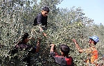 Palestinians pick olives during harvest season at a farm in the south of Gaza city, On October 16, 2017. Photo by Atia Darwish