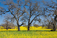 Dormant Oak trees (Quercus lobata)  with flowering yellow mustard spring wildflowers in Sonoma County California field