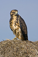 Swainson's Hawk standing on top of a hay bale