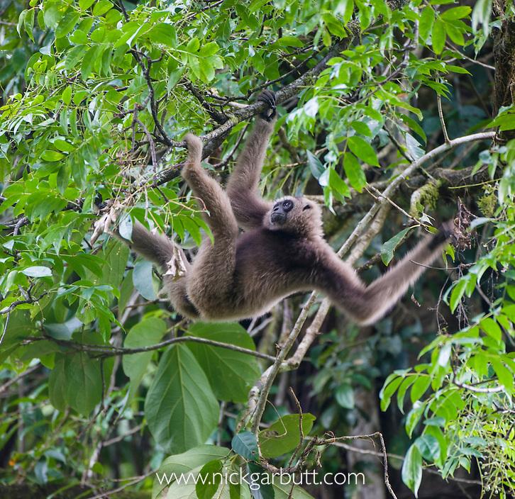 Male Müller's Bornean Gibbon (Hylobates muelleri) in canopy. Danum Valley, Sabah, Borneo.