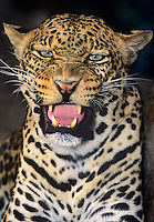 654309082 portrait of a snarling adult male african leopard panthera pardus - animal is a wildlife rescue - species is native to sub-saharan africa -sudan
