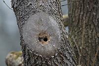 Kleiber, baut sein Nest in einer Asthöhle, Baumhöhle, Einflugloch wird mit Lehm verengt, Nisthöhle, Spechtmeise, Sitta europaea, Nuthatch, Eurasian nuthatch, wood nuthatch, Sittelle torchepot