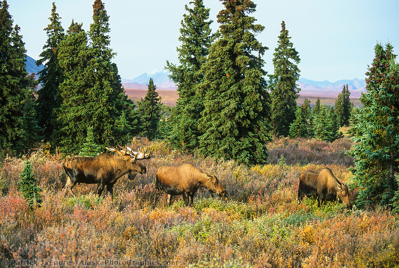 Bull moose scents female moose during mating season, boreal forest, autumn, Denali National Park, Alaska