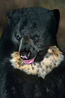 609729002 a wildlife rescue malaysian sun bear helarctos malayanus portrait species is endangered in the wild   hummer