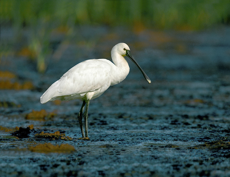 Spoonbill Platalea leucorodia L 70-80cm. Unmistakable. Flattened, spoon-shaped bill is swept from side-to-side in shallow water to catch small fish and crustaceans. Sleeps with bill tucked under wings - confusion with Little Egret possible. Sexes are similar. Adult has whitish plumage and black bill with yellow tip; in breeding season, has crest and base of bill and breast are flushed yellow. Juvenile is similar but legs and bill are dull pink. Voice Mostly silent. Status Scarce nesting species and non-breeding visitor from mainland Europe. Most records are coastal.