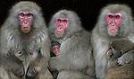 NLD-20040319-AMSTERDAM: Japanse Makaak-apen zoeken vrijdag in Artis in Amsterdam beschutting voor de regen en de wind. ANP FOTO/KOEN SUYK
