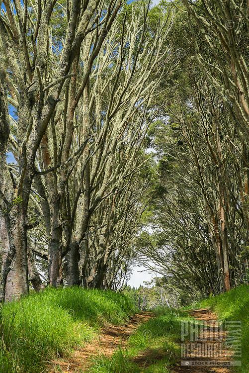 Young koa trees overhang a dirt road in the pastures of Kamuela, Big Island of Hawai'i.