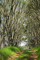 Young koa trees overhang a dirt road in the pastures of Kamuela, Big Island of Hawai'i.