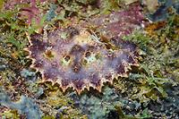 scalloped ceratosoma nudibranch, Ceratosoma miamiranum, Madang, Papua New Guinea, Pacific Ocean