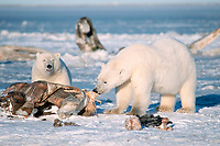 polar bears, Ursus maritimus, feeding on carcass of bowhead whale, Balaena mysticetus, 1002 Arctic Coastal Plain of the Arctic National Wildlife Refuge, Alaska ( Arctic ), polar bear, Ursus maritimus