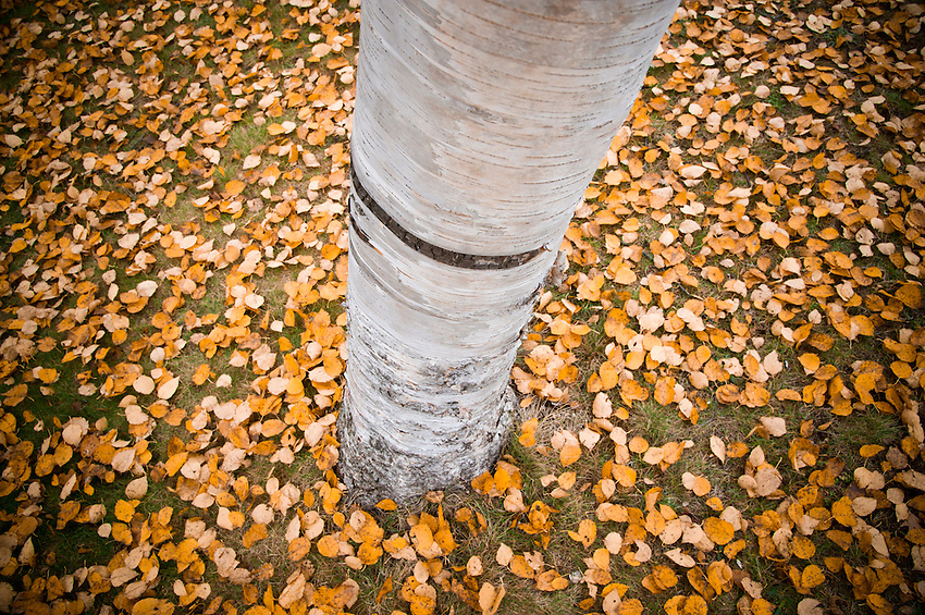 Fallen yellow leaves surround the base of a white birch tree in the Porcupine Mountains of Michigan's Upper Peninsula.