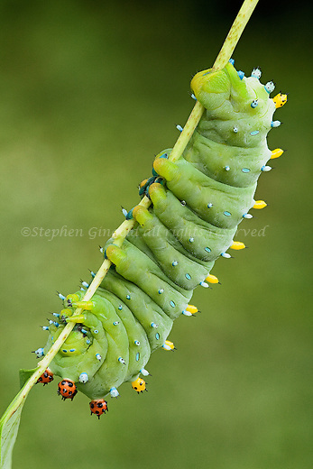 A Cecropia moth caterpillar.