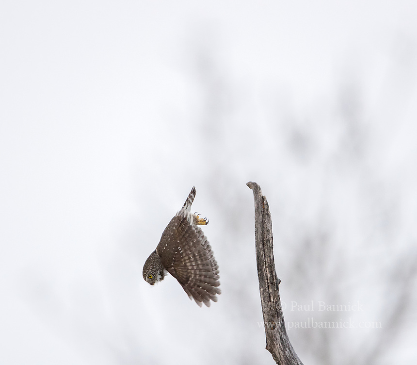 A Northern Pygmy-Owl dives towards prey.