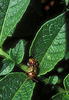 Leptinotarsa decem-lineata aka Leptinotarsa decemlineata Colorado Potato beetle insect pests mating on vegetable crop