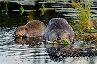 Two North American Beaver (Castor canadensis) at communal feeding area eating the bark off small aspen tree limbs along edge of pond.  Northern Rockies,  Fall.  Beaver often have a regular (usually several) feeding area within their home territory where they will bring small limbs to feed on.  Note: the larger beaver on the right is an adult while the other beaver is a young one born earlier in the year (probably four to five months old).