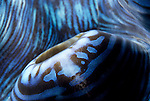Cairns, Australia; Giant clam (Tridacna squamosa), to 30 cm (2 ft.), found in Western Pacific coral reefs, Indian Ocean and the Red Sea © Matthew Meier, matthewmeierphoto.com All Rights Reserved