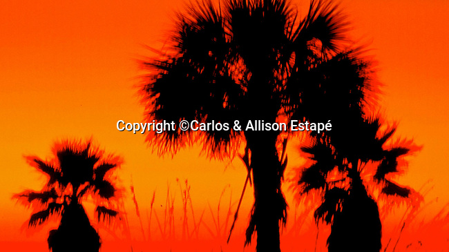 Palms at Sunset, Ft. DeSoto, Florida