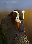 Tufted Puffin (Fratercula cirrhata), sleeping with bill tucked into feathers, closeup, St. Paul Island, Pribilofs, Alaska, USA