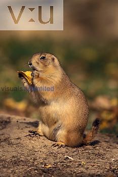 Black-tailed Prairie Dog ,Cynomy ludovicianus,