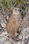 Gardens of the Queen, Cuba; a Desmarest's Hutia (Capromys pilorides) or Cuban Hutia climbing in the bushes at the edge of a sandy beach, also known as tree rats