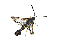 Sallow Clearwing - Synanthedon flaviventris