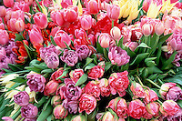 Stock Photos of Tulips Spring Flowers