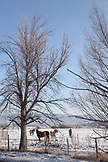 USA, Utah, Midway, a snowy landscape with horses and trees