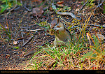Golden-Mantled Ground Squirrel gathering nesting material in Autumn, Callospermophilus lateralis, Taft Point Trail, Yosemite National Park