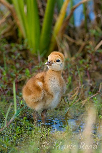 Sandhill Crane (Grus canadensis), Florida race, chick a few days old, Orlando, Florida, USA