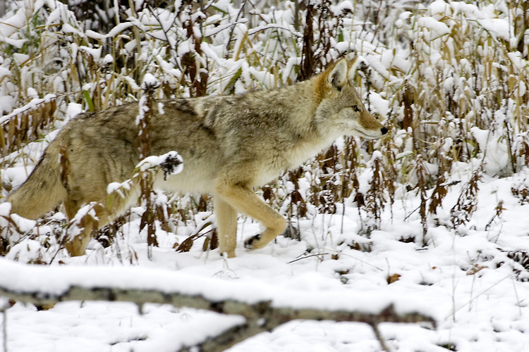 Coyote hunting in the snow covered grass