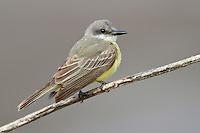 Tropical Kingbird - Tyrannus melancholicus - Adult
