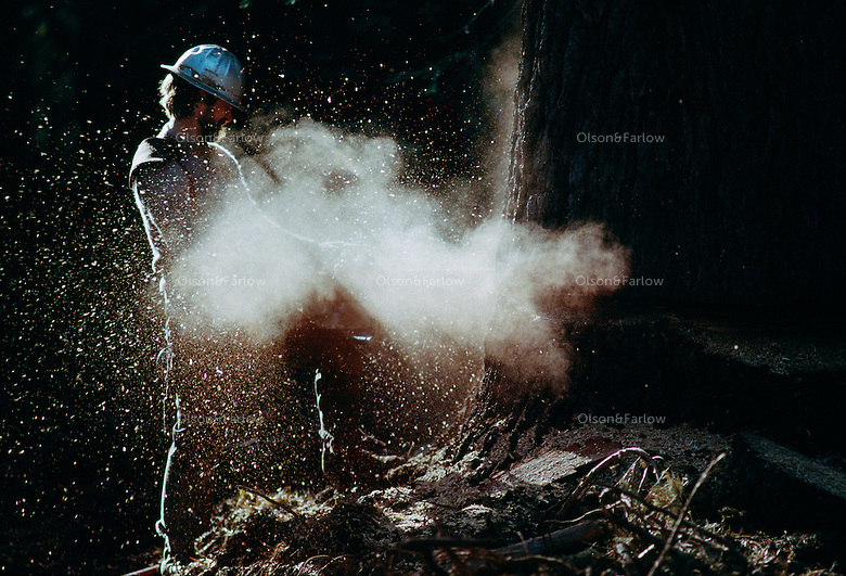 A logger cuts through a tall tree in the north California region that began as a logging settlement. Because of injuries and accidental death, logging is the second most dangerous job (after fishing) in the U.S.