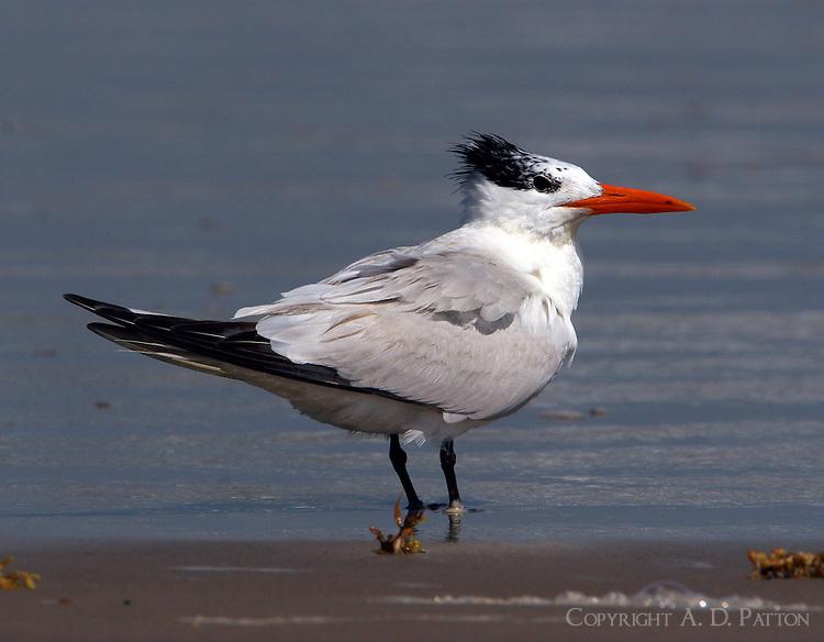 Adult royal tern in non-breeding plumage