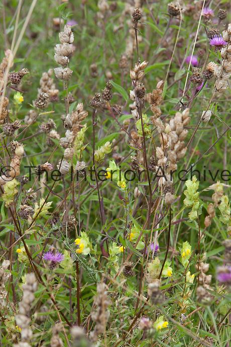 Yellow rattle (Rhinanthus glacialis) and Centaurea nigra at Great Dixter
