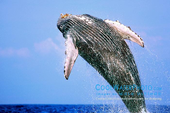 humpback whale, breaching, .Megaptera novaeangliae, .Hawaii (Pacific).