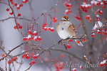 American Tree Sparrow (Spizella arborea) perched amid berries in winter, New York, USA
