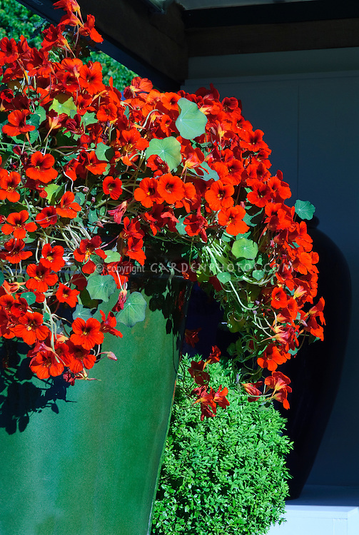 Red Nasturtiums Tropaeoleum annual edible flowers in glazed container pot planter